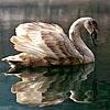 Лебеди из-под воды