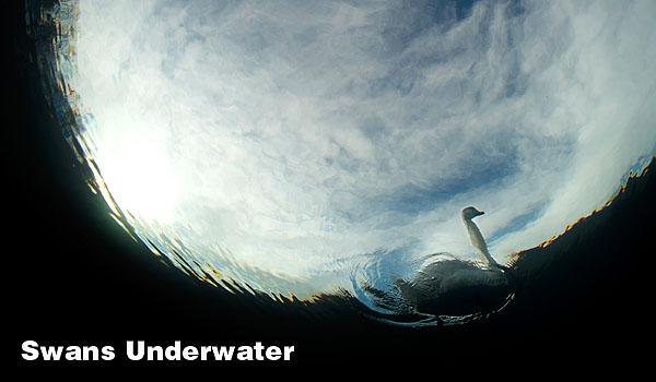Swans Underwater